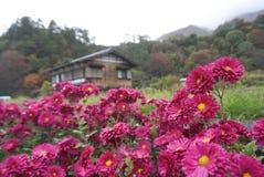 Härliga rosa färger blommar med det japanska huset för traiditionalen på Shirak Arkivfoton