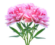 Härliga rosa pionblommor som isoleras på vit Arkivbilder