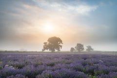 Härligt dramatiskt dimmigt soluppgånglandskap över lavendelfält I Royaltyfria Foton