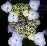 Härligt färgrikt slut för sommarvanlig hortensiablomma upp Fotografering för Bildbyråer