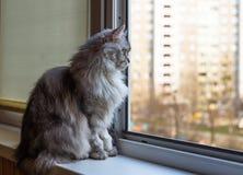 Härligt grått kattsammanträde på fönsterbräda och se till ett fönster Arkivfoto