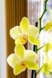 Härligt gult orkidéblommarum Arkivfoto