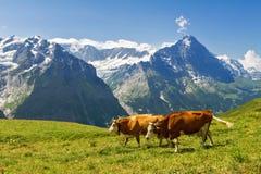Härligt idylliskt alpint landskap med kor, fjällängberg och bygd i sommar Fotografering för Bildbyråer