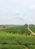 Härligt landskap av Choui Fong Tea Plantation Royaltyfri Fotografi