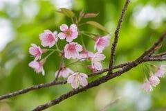 Härligt slut upp den körsbärsröda blomningen Arkivfoto