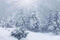 Härligt vinterberglandskap med den snöig granskogen Arkivbilder