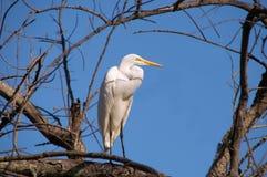 Héron grand (Ardea alba) Image libre de droits