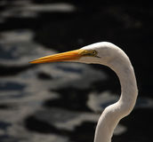 Héron grand (Ardea alba) Photographie stock libre de droits