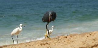 Hérons sur une plage sablonneuse près de l'océan Le Kerala, Inde du sud Image stock
