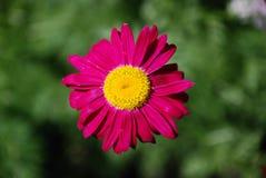 Сhrysanthemum Royalty Free Stock Photos