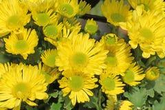 Hrysanthemum amarelo bonito imagem de stock royalty free