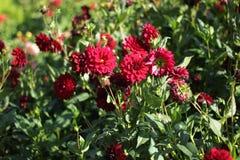 Сhrysanthemum golden-daisy red flower in the garden Stock Photography
