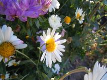 Сhrusanthemums and asters in the garden. Royalty Free Stock Photo