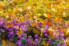 Hrysanthemums del ¡de Ð y un césped con la hierba debajo de las hojas caidas Fotos de archivo