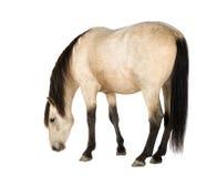 häst Royaltyfria Bilder