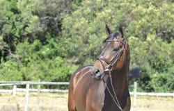 häst - engelsk fullblod Arkivbilder