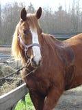 häst kört svettigt Arkivfoto
