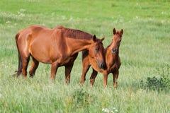 Häst med hingstfölet Arkivfoton