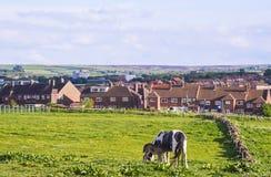 Häst och kalv i äng i Whitby i North Yorkshire Arkivbilder