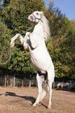 häst som fostrar white Royaltyfri Bild