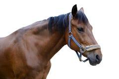 Häst som isoleras på en vit bakgrund Fotografering för Bildbyråer