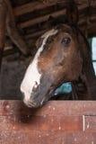 Häst som stirrar på kameran i ladugården Arkivfoton