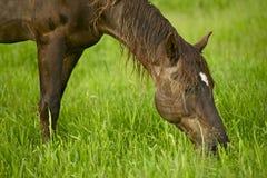 Häst som äter gräs Arkivbilder