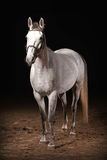 Häst Trakehner grå färger färgar på mörk bakgrund med sand Arkivbild