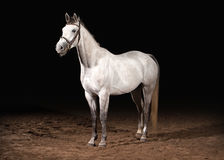 Häst Trakehner grå färger färgar på mörk bakgrund med sand Royaltyfri Foto
