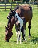 Hästar 208 Arkivbild