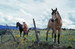 hästar betar Royaltyfri Fotografi