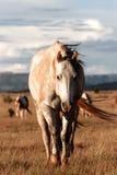 Hästar i det wild Royaltyfria Foton