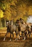 Hästar i höst Fotografering för Bildbyråer