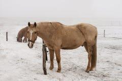 Hästar i snön Royaltyfri Bild