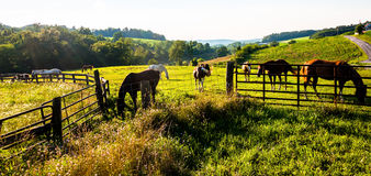 Hästar och staket i ett lantgårdfält i York County, Pennsylvania Fotografering för Bildbyråer