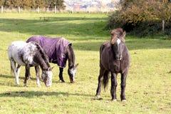 Hästar på äng i höst Royaltyfri Fotografi