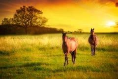 Hästar på solnedgången Arkivbild