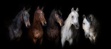 Hästar på svart Arkivfoto
