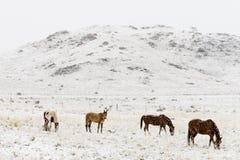 Hästar som betar i vinter, snöar colorado steniga berg Royaltyfria Bilder