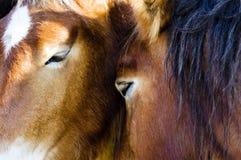 hästar två Fotografering för Bildbyråer
