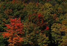 höstbakgrundscloseupen colors orange red för murgrönaleaf Royaltyfria Foton