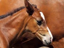 hästbarn Arkivbilder