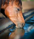 Hästen dricker ett vatten. Arkivfoton