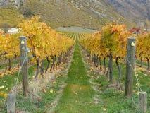Hösten färgar nyazeeländska vingårdrader Royaltyfria Foton