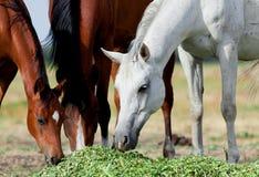 Hästflock som äter gräs Arkivbild