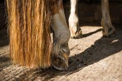 Hästklöv Fotografering för Bildbyråer