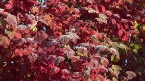 Höstligt träd med det röda bladet med första frost i trädgård 4K stock video