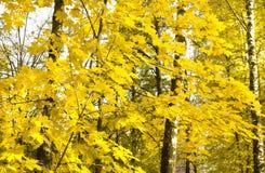Höstlönnträd Arkivfoto