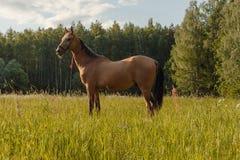 Häststag i gräsfält Arkivbilder