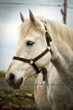 hästståendewhite Arkivfoto